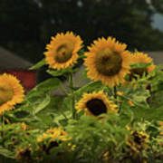 Sunflowers And Red Barn 3 Poster
