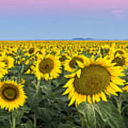 Sunflowers At Sunrise Poster