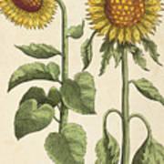 Sunflowers Illustration From Florilegium Poster