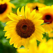 Sunflowers I Poster