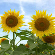 Sunflowers In Texas Summertime 1 Poster