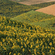 Sunflowers In The Palouse Poster