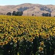 Sunflowers Of Vacaville Poster