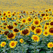 Sunflowers On A Cloudy Day Poster
