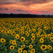 Sunflowers To The Sky Poster