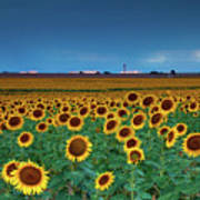 Sunflowers Under A Stormy Sky By Denver Airport Poster