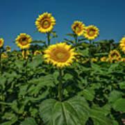 Sunflowers Weldon Spring Mo Ver1_dsc9821_16 Poster