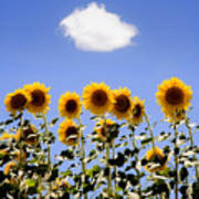 Sunflowers With A Cloud Poster