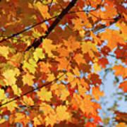 Sunlight In Maple Tree Poster