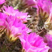 Sunlight On Pink Cactus Blooms Poster