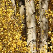 Sunlight Shines On Golden Aspen Leaves Poster by Charles Kogod