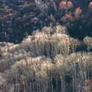 Sunlit Bare Autumn Aspens 1 Poster