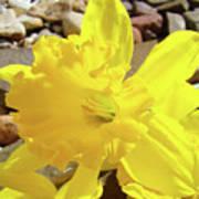 Sunlit Daffodil Flower Spring Rock Garden Baslee Troutman Poster