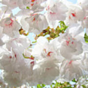 Sunlit Flowers Art Prints White Tree Blossoms Baslee Troutman Poster