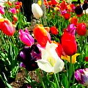 Sunlit Tulips Poster