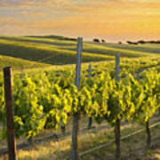 Sunlit Vineyard Poster