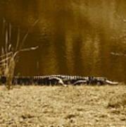 Sunning Gator Poster