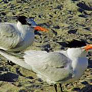 Sunning Terns Poster