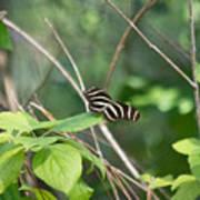 Sunning Zebra Longwing Butterfly Poster