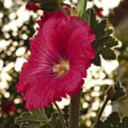 Sunny Garden Mayflower Poster