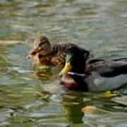 Sunny Mallard Ducks Poster