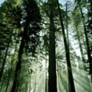 Sunrise Beams N Sequoia Poster