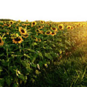 Sunset And Rows Of Sunflowers Poster