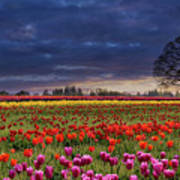 Sunset At Colorful Tulip Field Poster