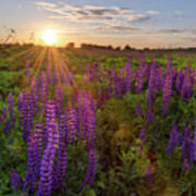Sunset Over Meadow Of Lupine Poster