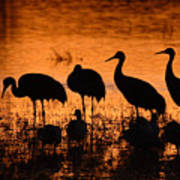 Sunset Reflections Of Cranes And Geese Poster