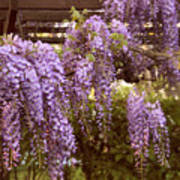 Sunset Wisteria Poster