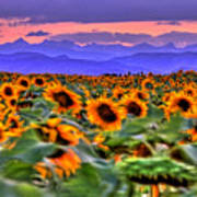 Sunsets And Sunflowers Poster