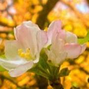 Sunshine On Apple Blossoms Poster