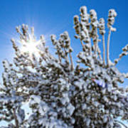 Sunshine Through Snow Covered Tree Poster