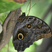 Superb Markings On An Owl Butterfly In A Garden Poster
