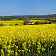 Surrounded By Rapeseed Flowers Poster