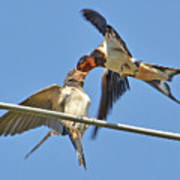 Swallow And Cub Poster