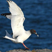 Swallow Tailed Gull Landing Poster