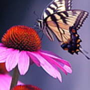 Swallowtail And Coneflower Poster