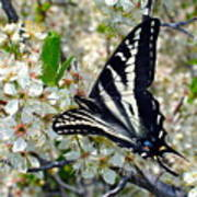 Swallowtail And Plum Blossoms Poster
