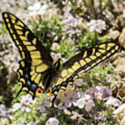 Swallowtail At Sand Wash Poster