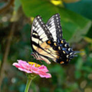 Swallowtail Butterfly 3 Poster