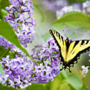 Swallowtail Butterfly On Lilacs Poster