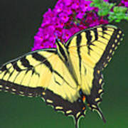 Swallowtail Poster