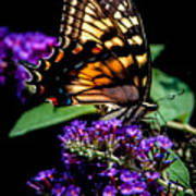Swallowtail Feasting Poster