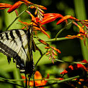 Swallowtail Hanging On The Crocosmia Poster