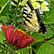 Swallowtail On A Zennia Poster
