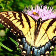 Swallowtail On Thistle Poster