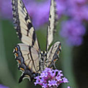 Swallowtail Staredown Poster