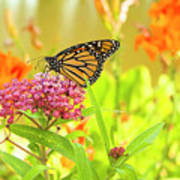Swamp Milkweed And Monarch Poster